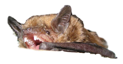 Bat Removal Brighton, MI