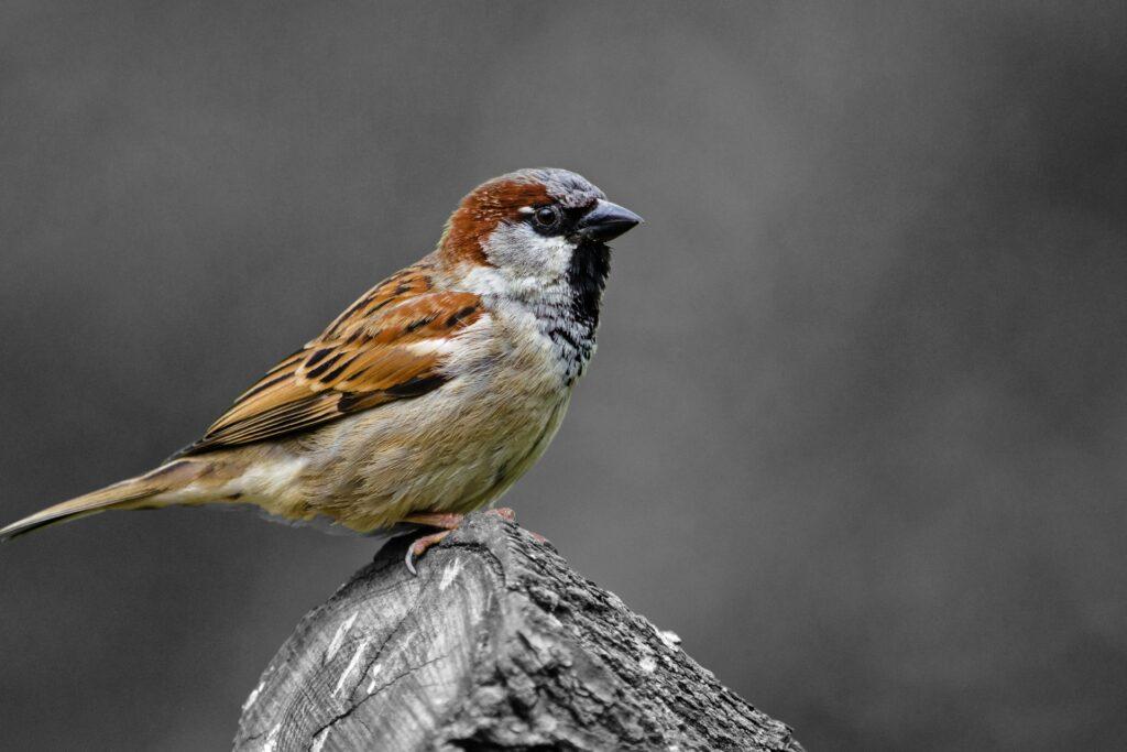 Sparrow removal brighton mi