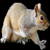Squirrel Removal Brighton MI