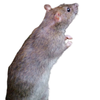 Rat Removal Brighton MI