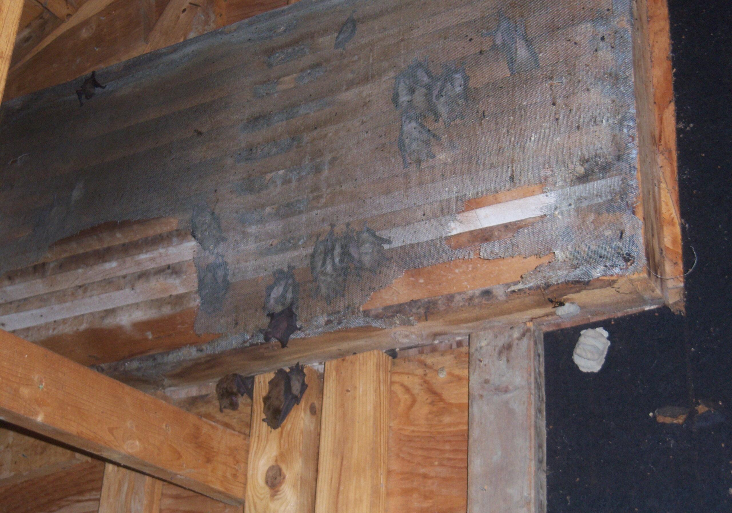 Bats in the Attic Brighton Michigan